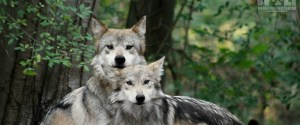The Wolf Conservation Center