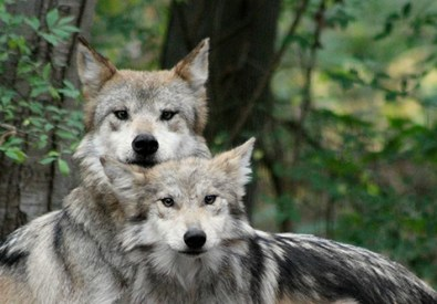 THE WOLF CONSERVATIO...