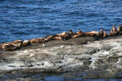 Sea lion haul out rock (May)