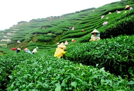 Tea Garden in Darjeeling, West Bengal