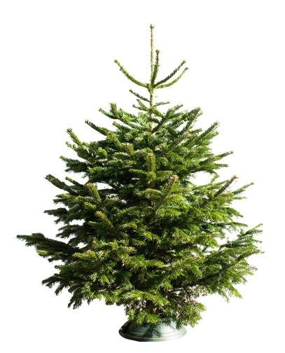 Weihnachtsbaum als Nordmanntanne in der Größe 160cm