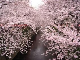 中目黒桜(中目~池尻)-min