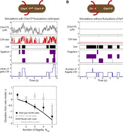 a theoretical model incorporating chey p fluctuations reproduces wild type data  [ 1475 x 1500 Pixel ]