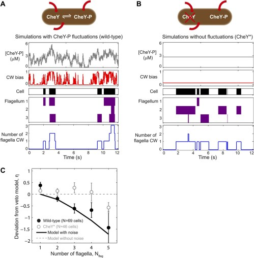 small resolution of a theoretical model incorporating chey p fluctuations reproduces wild type data