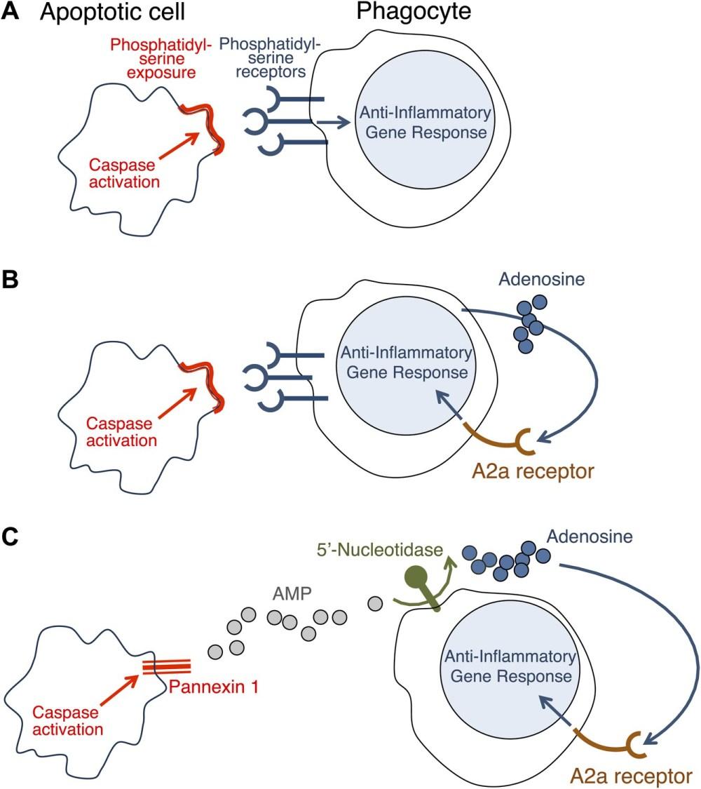 medium resolution of how do apoptotic cells trigger an anti inflammatory response in phagocytes
