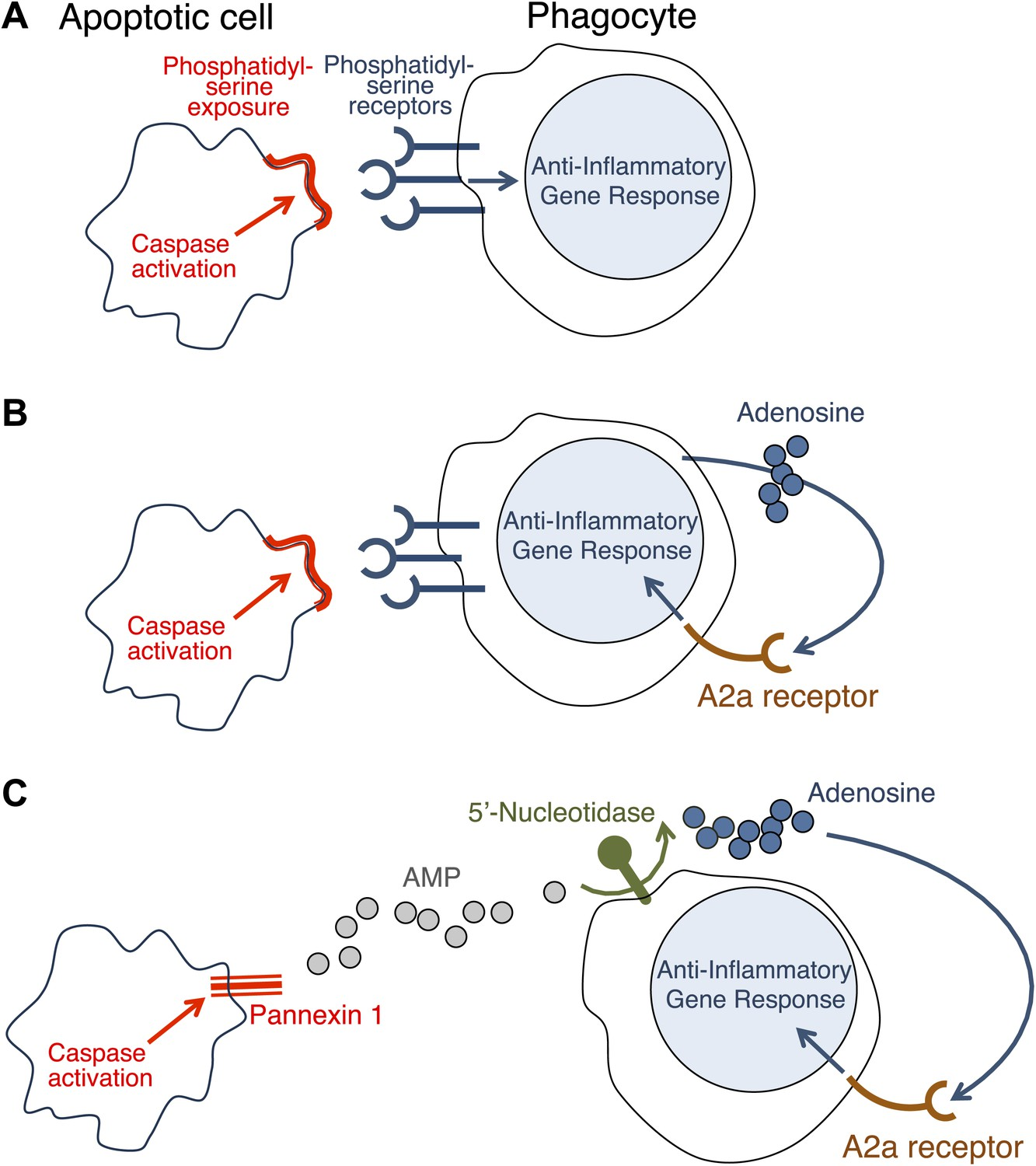 hight resolution of how do apoptotic cells trigger an anti inflammatory response in phagocytes