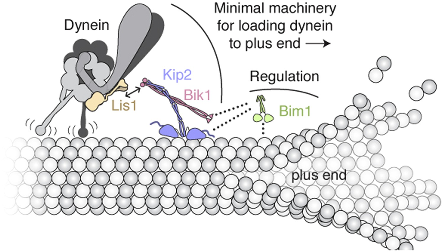 Reconstitution Of Dynein Transport To The Microtubule Plus