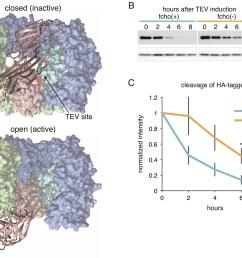 fcho promotes the protease sensitive open conformation of ap2 in vivo  [ 1500 x 1192 Pixel ]