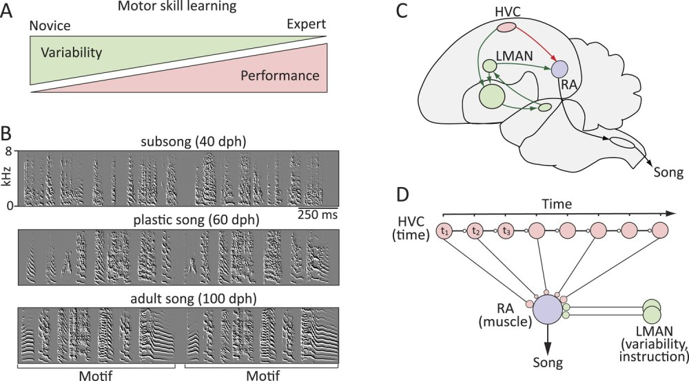 medium resolution of probing the neural mechanisms underlying the regulation of motor variability in songbirds