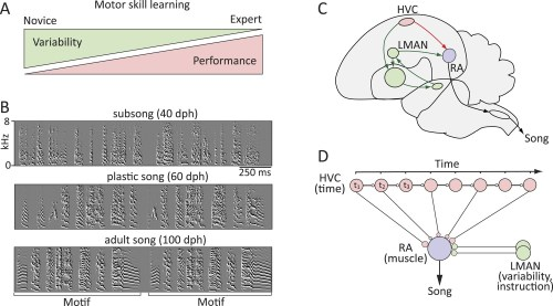 small resolution of probing the neural mechanisms underlying the regulation of motor variability in songbirds