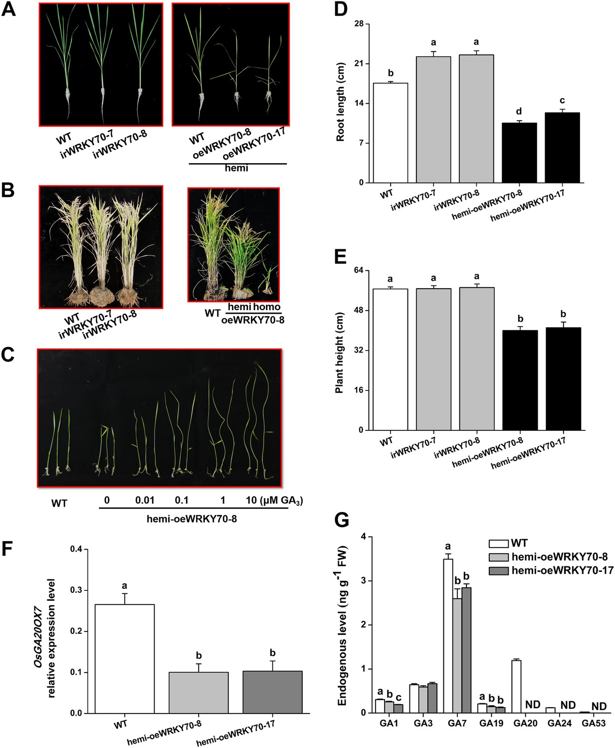 hight resolution of altering oswrky70 expression affects ga levels and plant growth