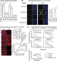 lowering gpr52 rescues human hd neurons and the in vivo fly hd models  [ 1500 x 1396 Pixel ]