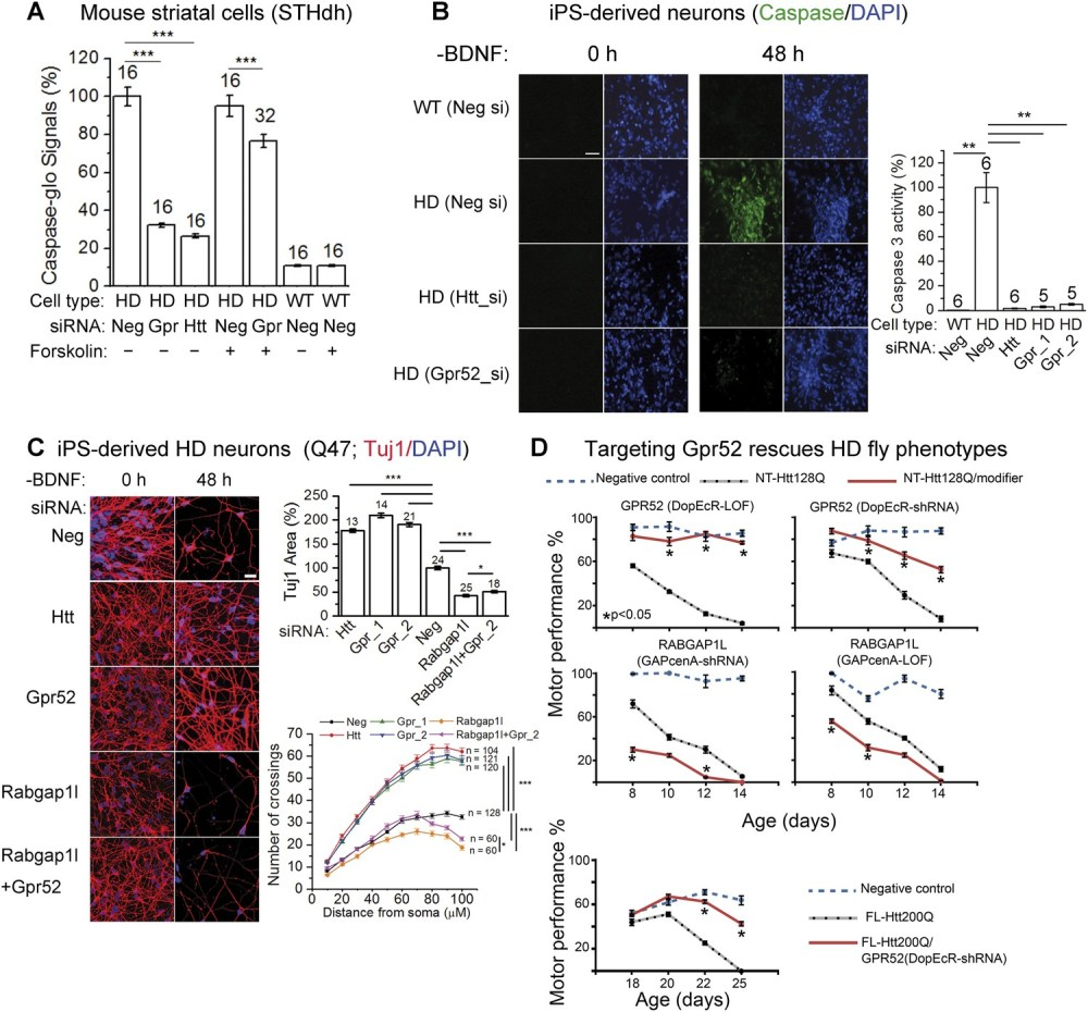 medium resolution of lowering gpr52 rescues human hd neurons and the in vivo fly hd models