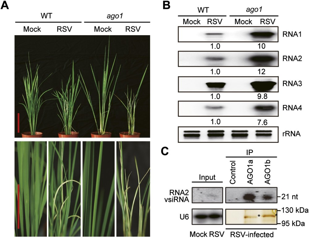 medium resolution of ago1 participates in antiviral immunity in rice