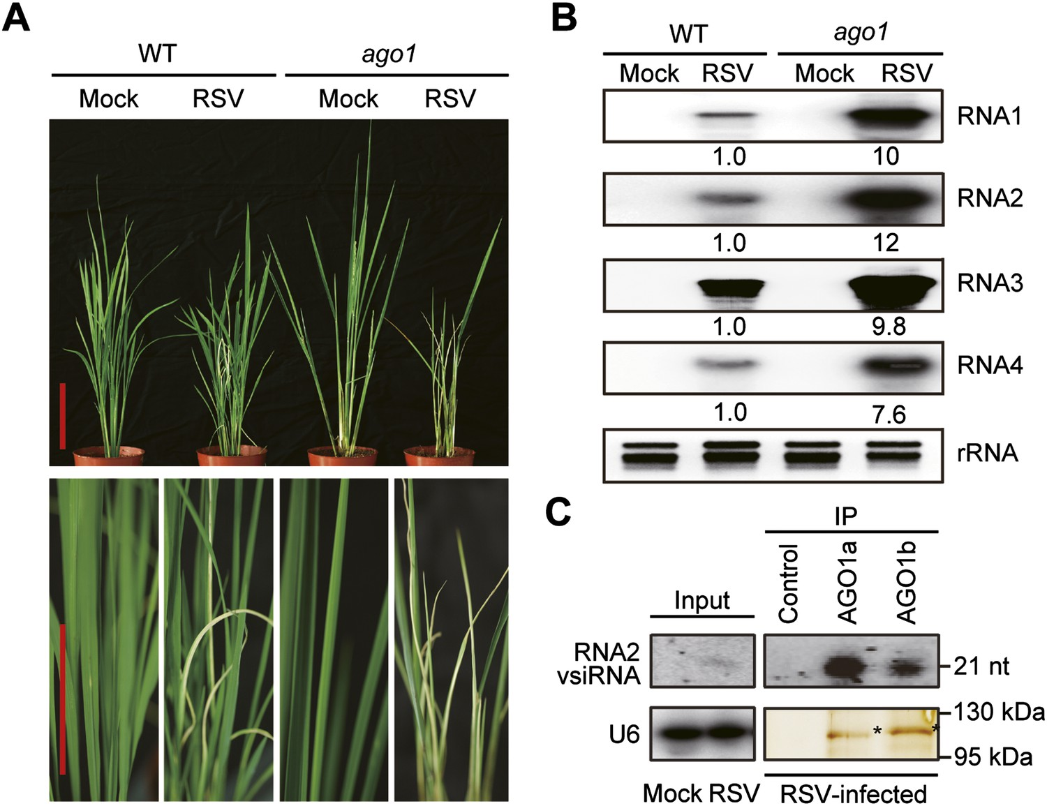 hight resolution of ago1 participates in antiviral immunity in rice