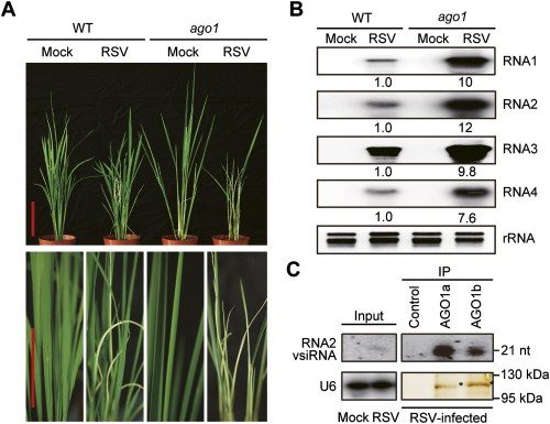 small resolution of ago1 participates in antiviral immunity in rice