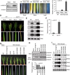 ago18 is induced by viral infection and confers antiviral immunity in rice  [ 1311 x 1500 Pixel ]
