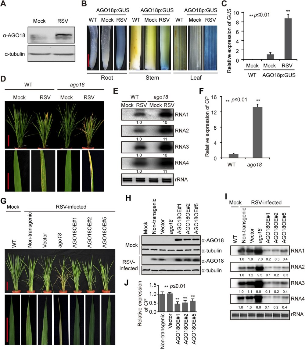 medium resolution of ago18 is induced by viral infection and confers antiviral immunity in rice