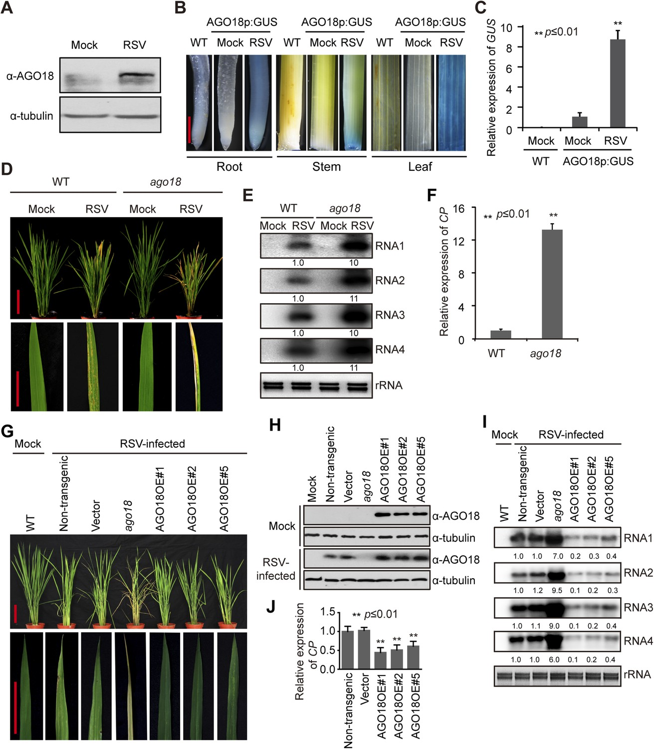 hight resolution of ago18 is induced by viral infection and confers antiviral immunity in rice