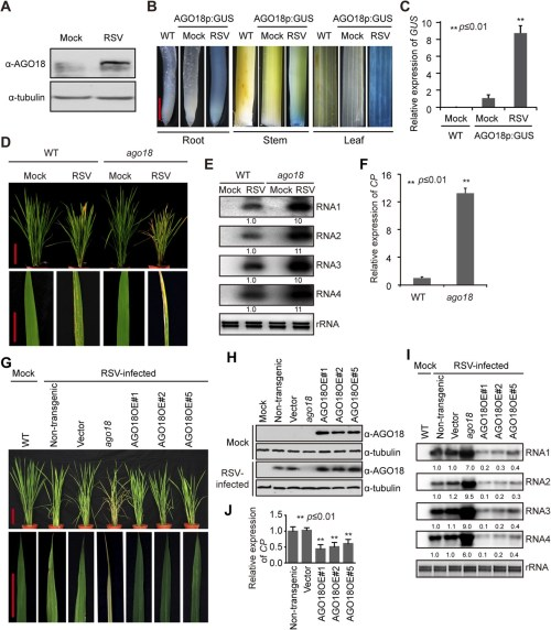 small resolution of ago18 is induced by viral infection and confers antiviral immunity in rice