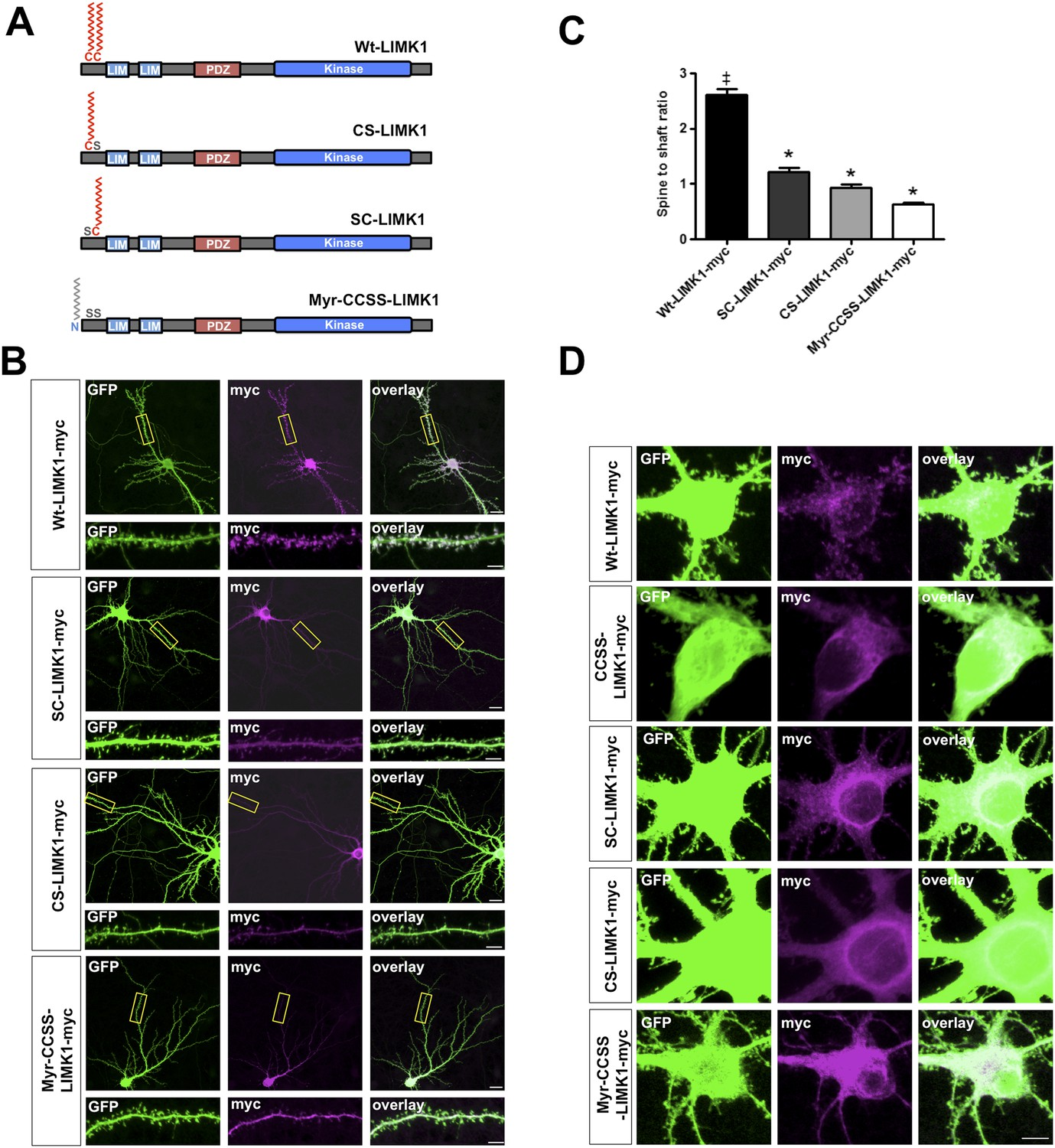 hight resolution of dual palmitoylation is necessary for limk1 spine targeting