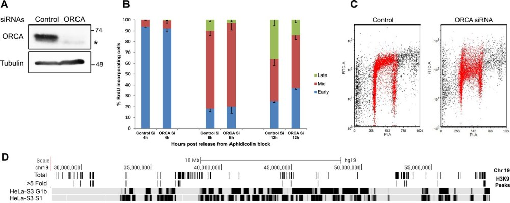 medium resolution of loss of orca causes defects in heterochromatin organization