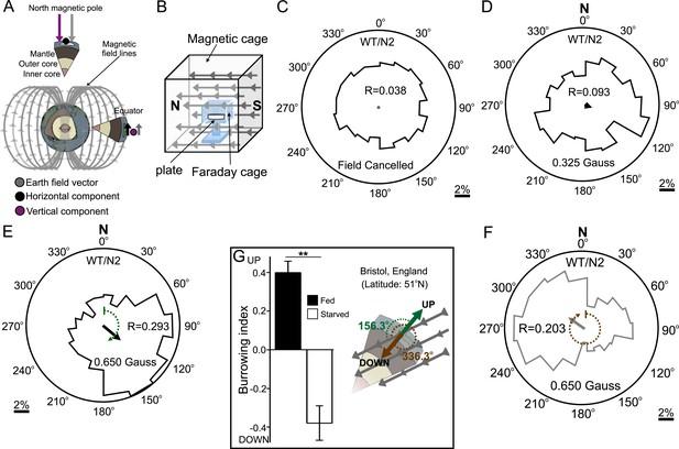 Magnetosensitive neurons mediate geomagnetic orientation