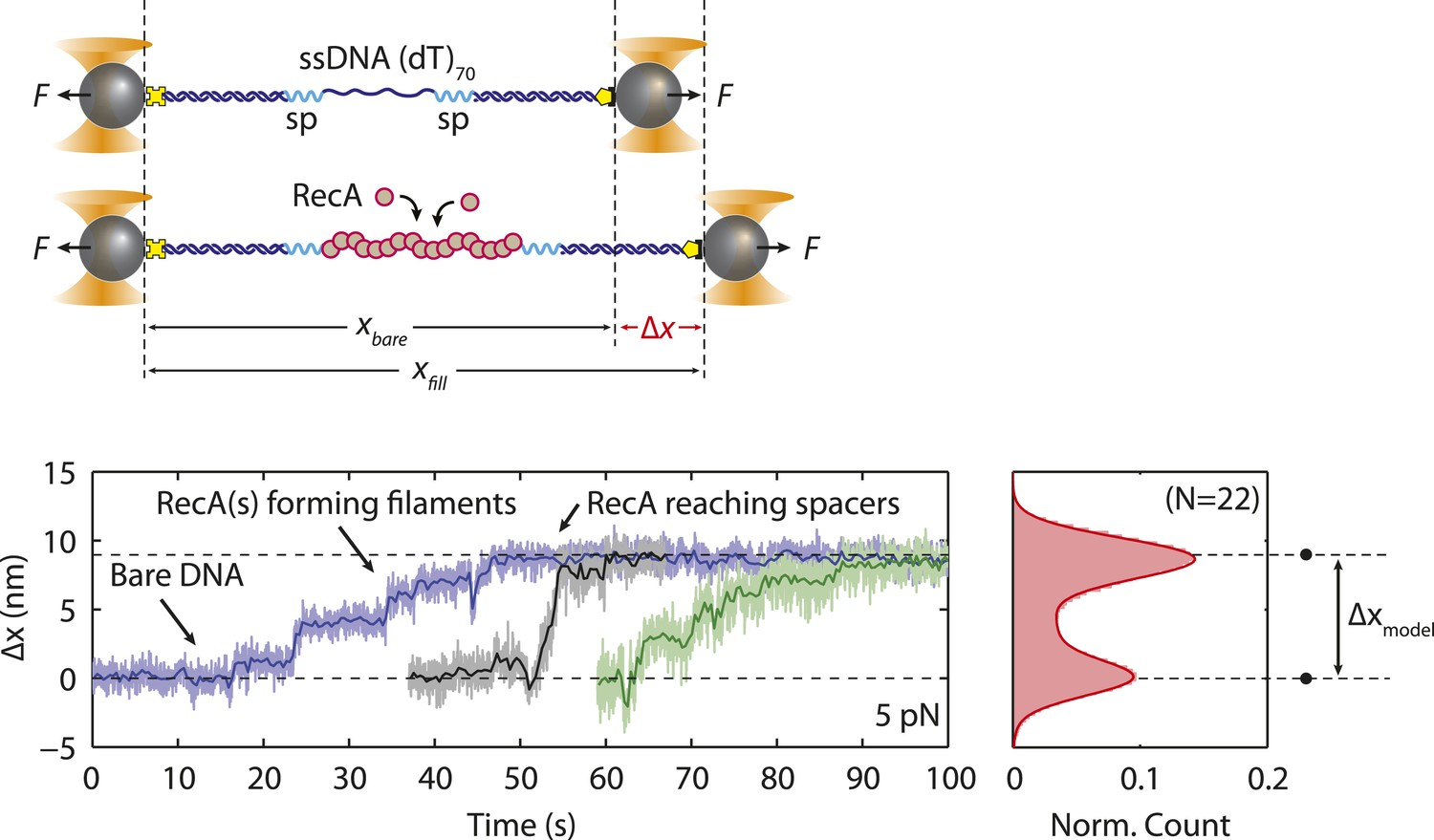 hight resolution of reca filament formation on modified single stranded dna