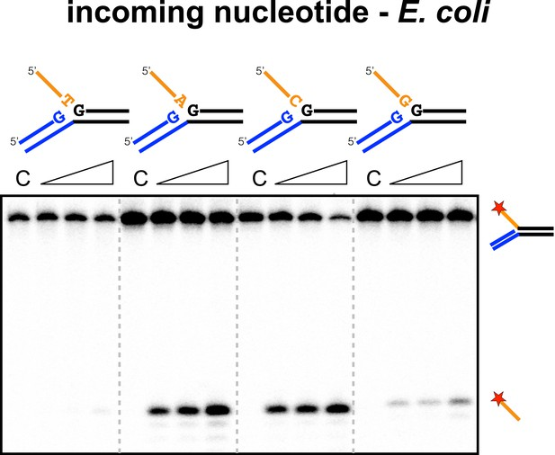 Intrinsic sequence specificity of the Cas1 integrase