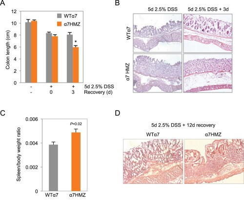 small resolution of increased susceptibility of 7hmz mice to dss induced colitis