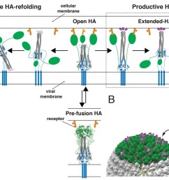 productive and non productive ha refolding and membrane fusion by cooperative action of multiple stochastically triggered has  [ 1500 x 857 Pixel ]