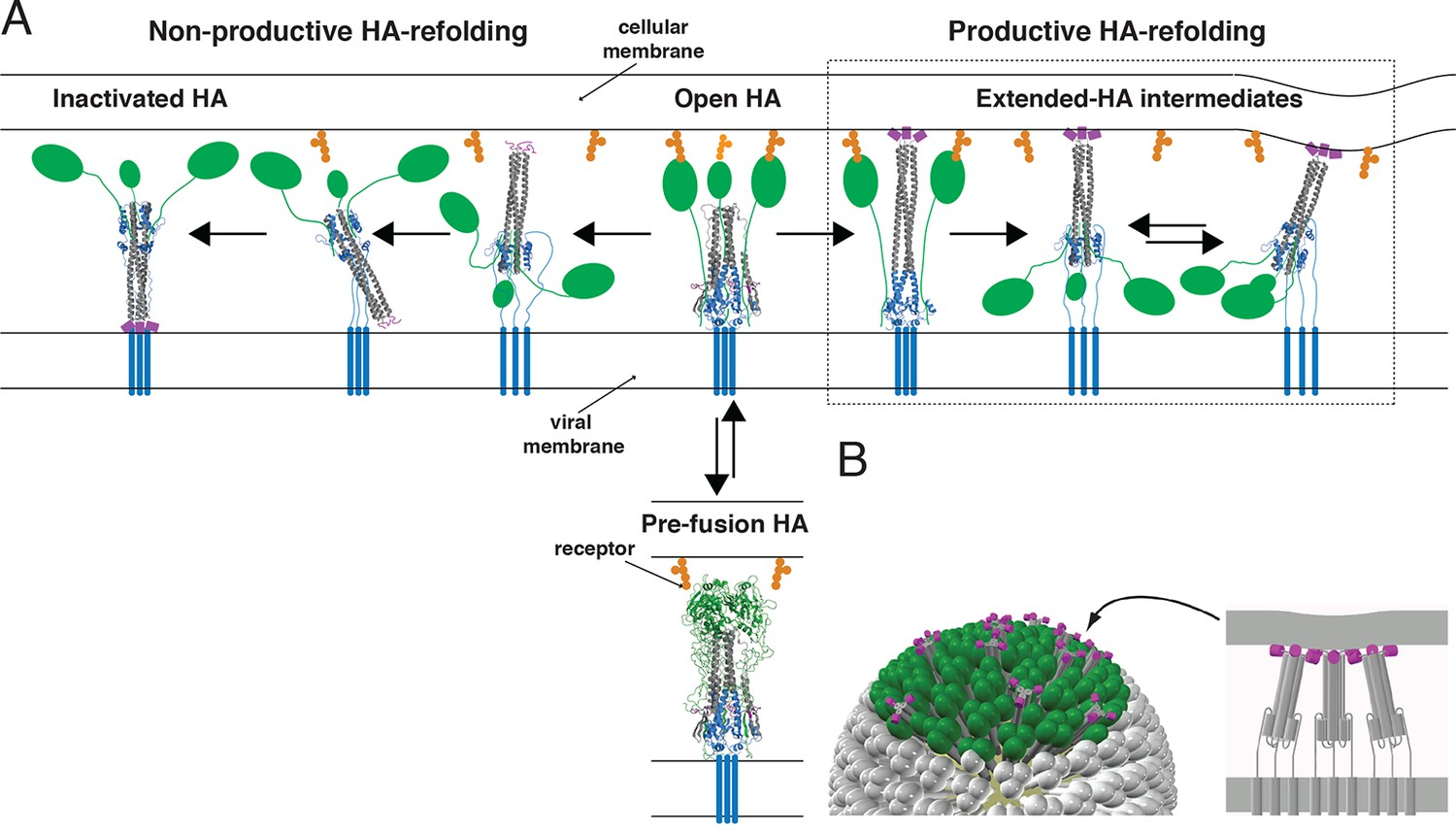 hight resolution of productive and non productive ha refolding and membrane fusion by cooperative action of multiple stochastically triggered has