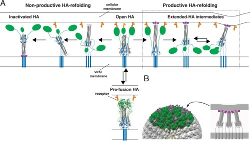 small resolution of productive and non productive ha refolding and membrane fusion by cooperative action of multiple stochastically triggered has