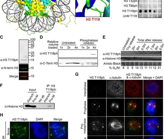 Dynamic Mitotic Phosphorylation Of H3 T118