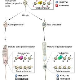 epigenomic model of rod and cone photoreceptor development  [ 1256 x 1500 Pixel ]