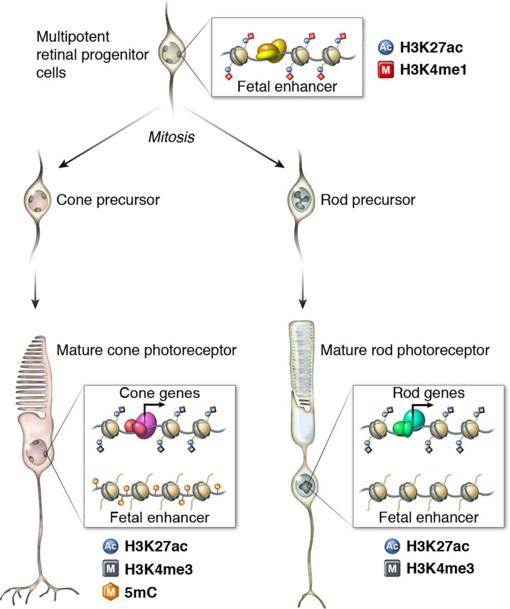 medium resolution of epigenomic model of rod and cone photoreceptor development