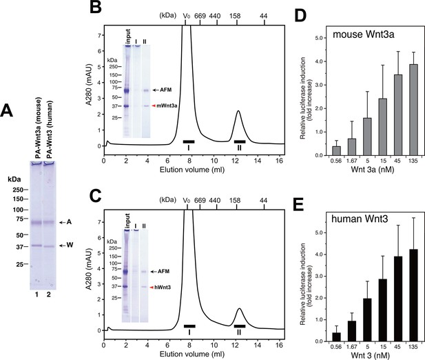 Active and water-soluble form of lipidated Wnt protein is