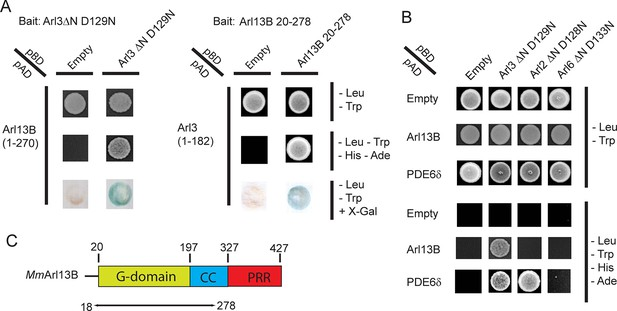 A G-protein activation cascade from Arl13B to Arl3 and