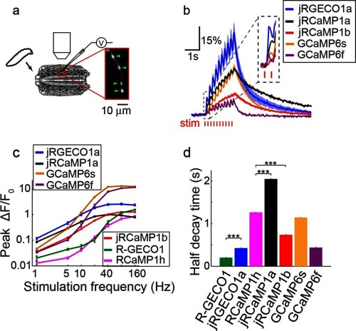 small resolution of imaging activity in drosophila larval nmj boutouns with red gecis