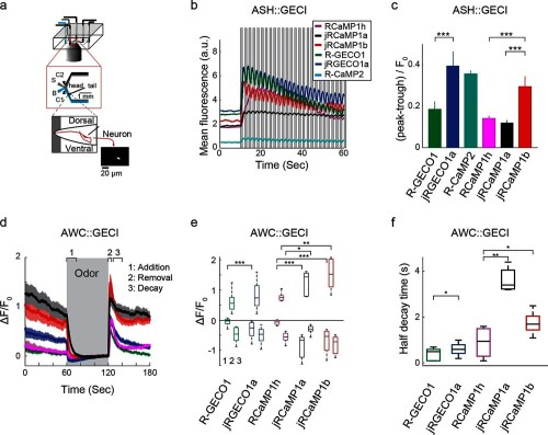 small resolution of imaging activity in the c elegans ash and awc neurons with red gecis