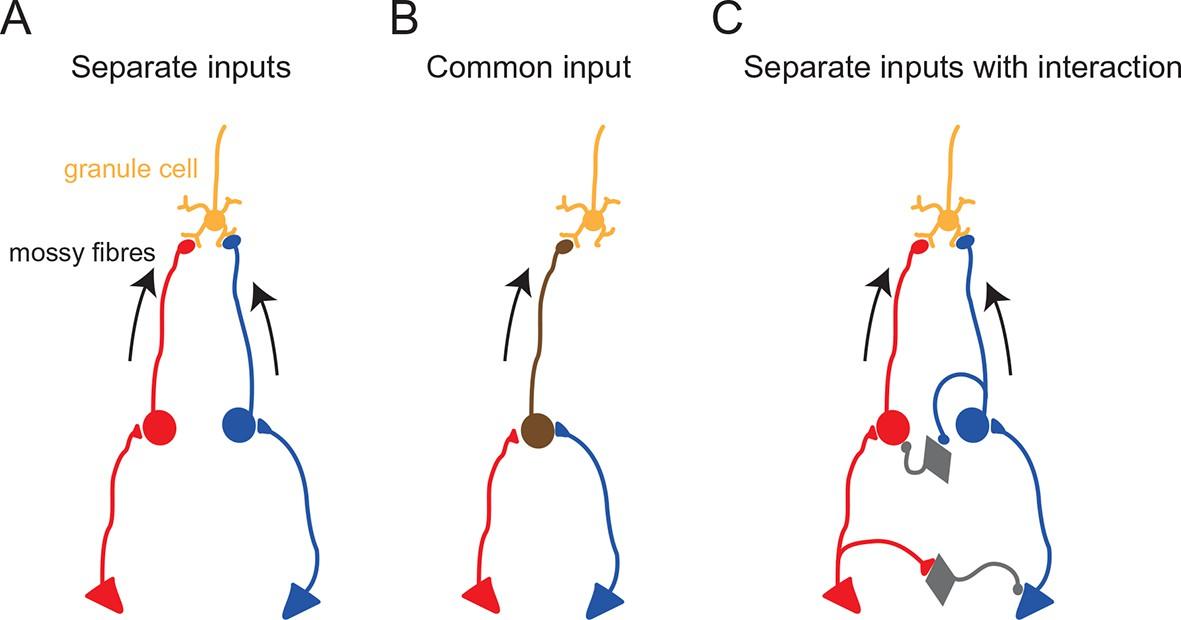 Multimodal sensory integration in single cerebellar