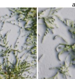 figures and data in constitutive auxin response in [ 1500 x 657 Pixel ]