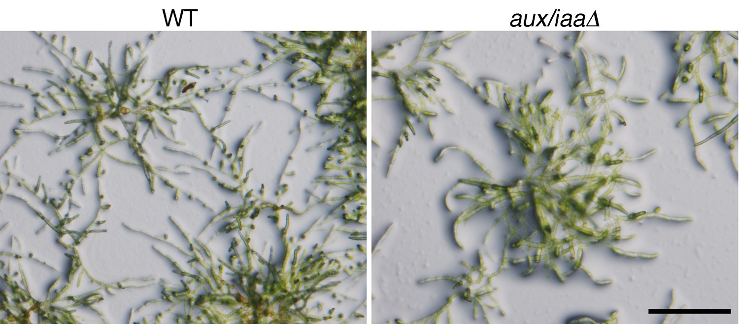 hight resolution of figures and data in constitutive auxin response in