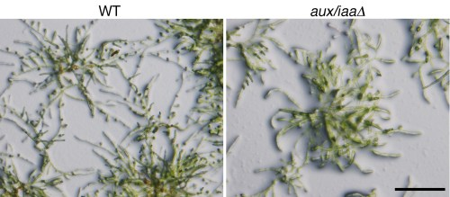 small resolution of figures and data in constitutive auxin response in