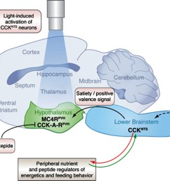 a neural circuit in the brainstem integrates signals from peripheral tissues to control feeding behavior and energy balance  [ 1500 x 1002 Pixel ]