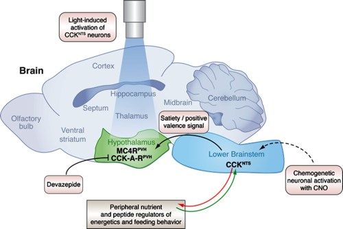 small resolution of a neural circuit in the brainstem integrates signals from peripheral tissues to control feeding behavior and energy balance