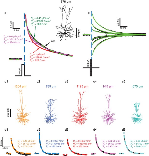 detailed neuron diagram illuminated toggle switch wiring unique membrane properties and enhanced signal processing in human exceptionally low specific capacitance cm for l2 3 pyramidal cells predicted using models