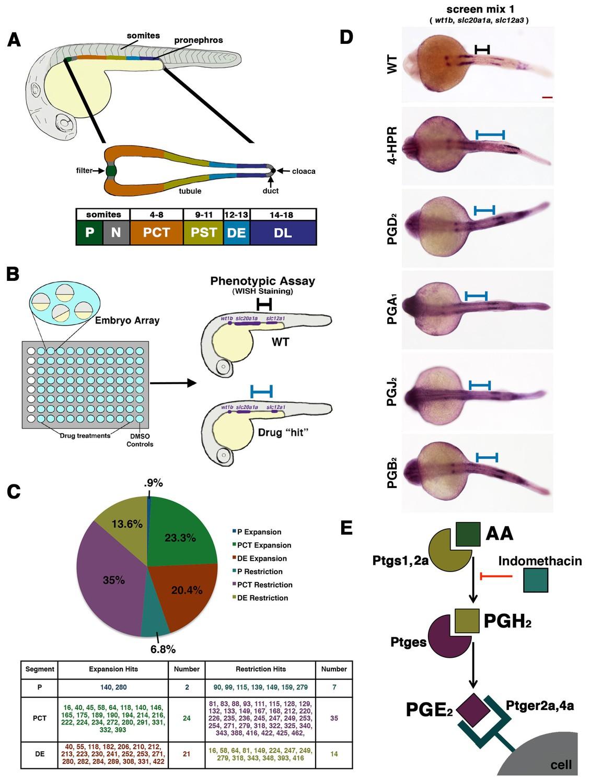 hight resolution of a novel small molecule screen reveals that prostaglandins alter nephron patterning