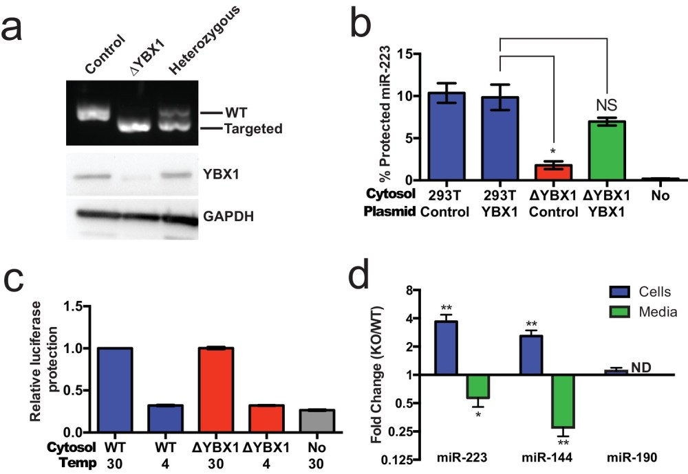 medium resolution of ybx1 is necessary for exosomal mirna packaging and secretion