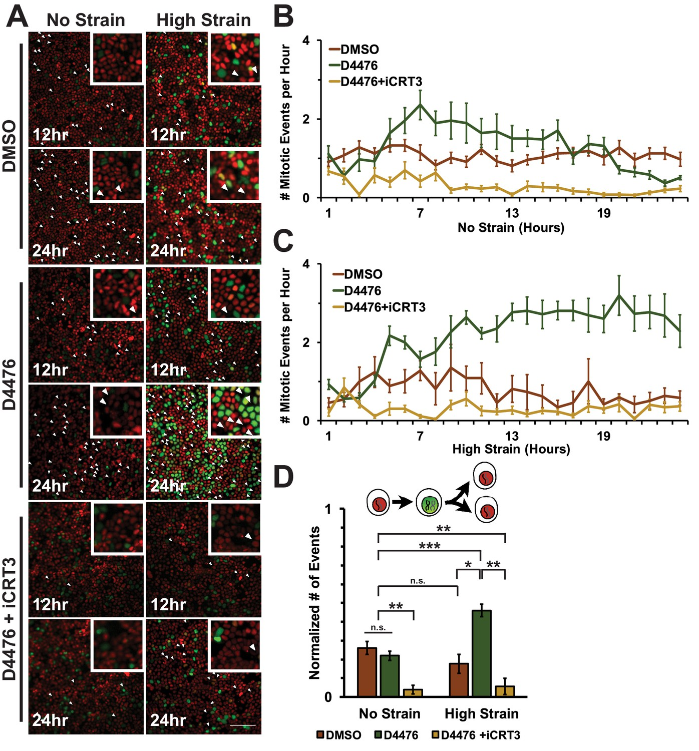 Increasing Catenin Wnt3a Activity Levels Drive Mechanical Strain Induced Cell Cycle